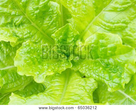 Leaf Of Lettuce Growing