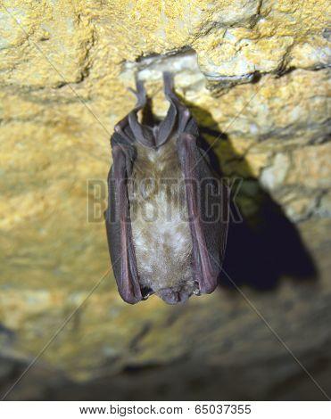 Greater horseshoe bat( Rhinolophus ferrumequinum )