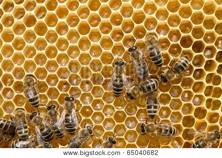 Close up view of the working bees on honeycells
