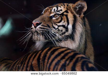 Sumatran Tiger with long whiskers