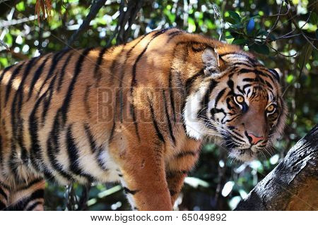 Staring Sumatran Tiger in a tree