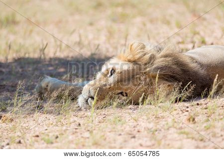 Lion Lying Looking