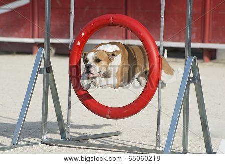 American Bulldog In Agility