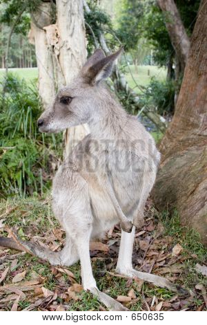 A Kangaroo By A Gumtree At Australia Zoo