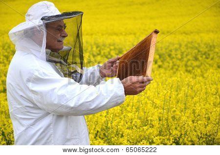 experienced senior apiarist working in the blooming rapeseed field