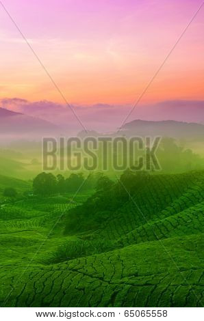 Landscape view of tea plantation in sunrise. Beautiful tea field Cameron Highlands in Malaysia.