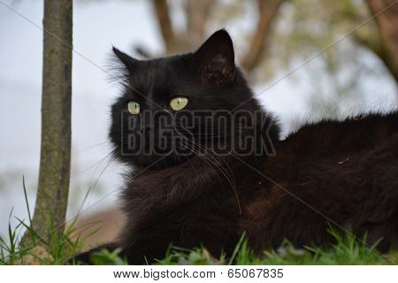 Black Chantilly cat resting in the garden