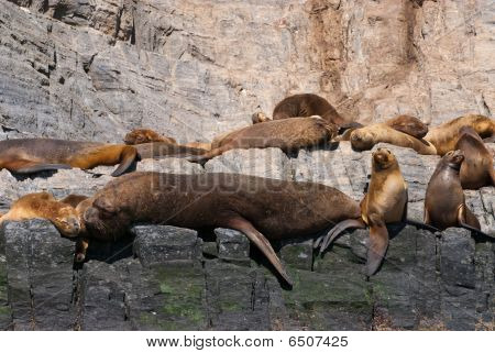 Colony Of South American Sea Lion (otaria Flavescens)
