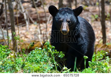 American Black Bear in Shenandoah National Park, Virginia