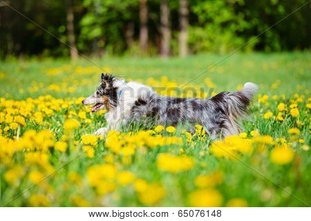beautiful merle sheltie dog in dandelions