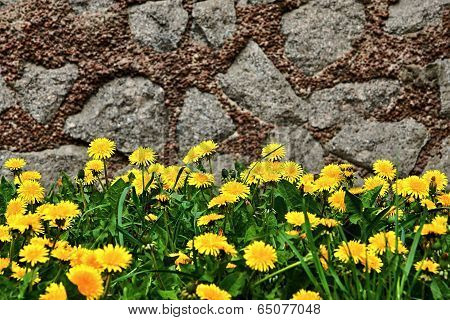 Dandelions And Grass On A Stone Wall