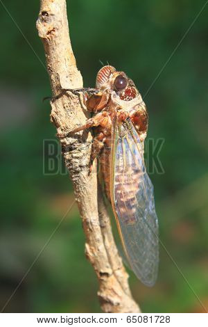 Cicadas in the trees