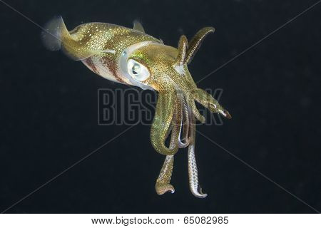 Squid underwater at night