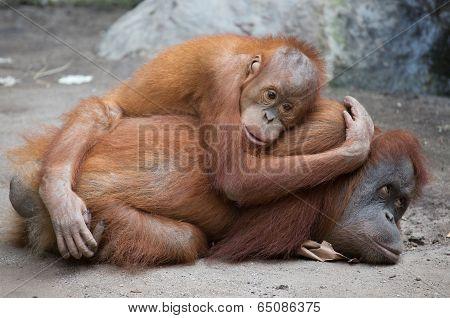 Orang Utan mother with child