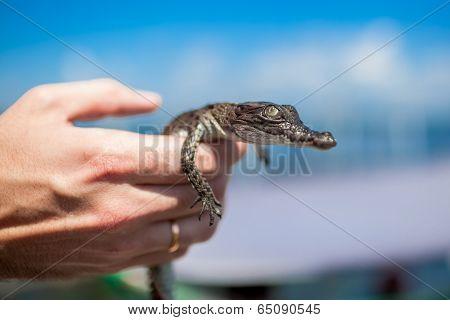 Young Caiman Crocodilus