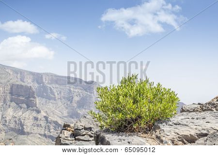 Green Bush Jebel Shams