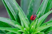 stock photo of water bug  - Pair of red beautiful scarlet lily bettles bugs mating colugating on green plant leafes covered with morning dew water drops - JPG
