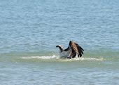 foto of osprey  - Osprey struggling to lift a captured fish out of the water - JPG