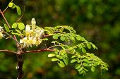 stock photo of moringa  - Flowers are blooming on the branches of a young moringa tree used to make supplements and herbal medicine - JPG