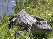picture of crocodilian  - 5 - JPG