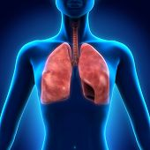 stock photo of bronchus  - Illustration of Human Respiratory System - JPG