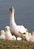 picture of gannet  - A northern gannet looking proudly to the camera - JPG