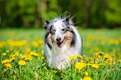 image of sheltie  - blue merle sheltie dog outdoors in summer - JPG