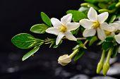 foto of gardenia  - spa concept gardenia flower - JPG