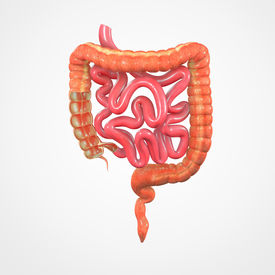 image of small-intestine  - The small intestine  is the part of the gastrointestinal tract following the stomach and followed by the large intestine - JPG