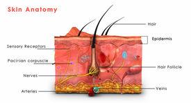image of vertebrates  - Skin is the soft outer covering of vertebrates - JPG