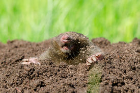 pic of mole  - Mole head in molehill hole soil. Enemy for beautiful lawn.
