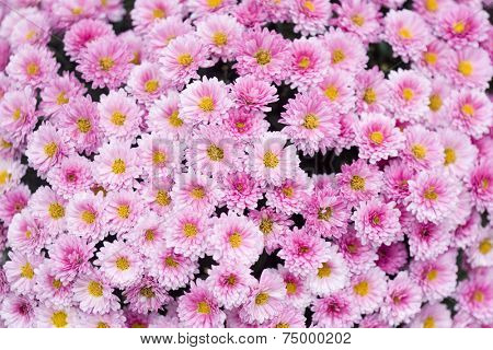 Close up of beautiful pink flower background