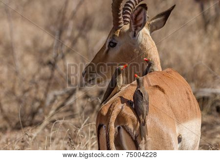 Oxpeckers Sitting On Impala