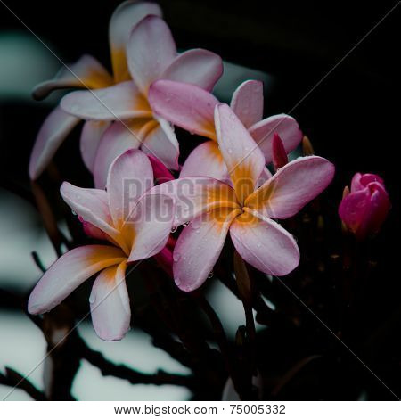 Frangipani, Vintage Flower