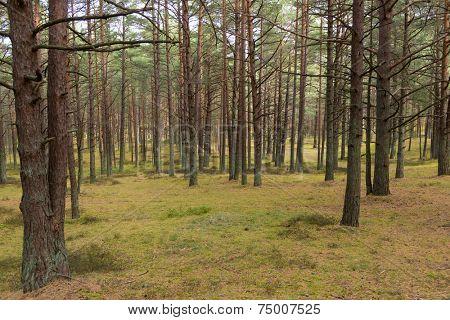 Pine forest in Jurmala, Latvia