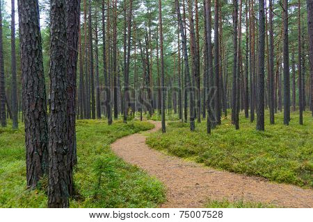 Footpath in a pine forest in Jurmala, Latvia