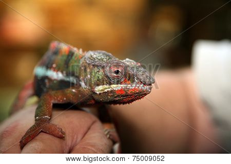 A beautiful Chameleon shows his unique color choice of the moment. The approximately 160 species of chameleon come in a range of colors, and many species have the ability to change colors.