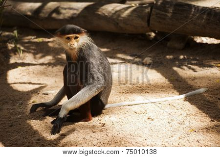Red-shanked Douc Langur Sitting