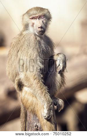 Macaque Monkey Sitting