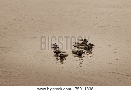 Water Buffalo Submerged In The Muddy Lake In India