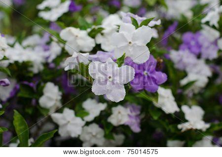Brunfelsia Australis