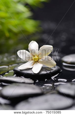 Still life with white gardenia with black stones and green plant