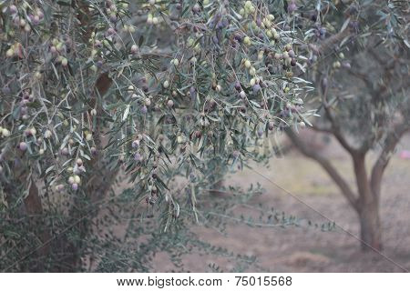 Olive Tree Branches With Ripening Fruits