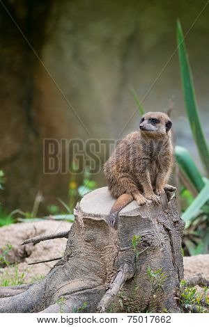 Meerkat suricate sitting on tree stump and looking curious