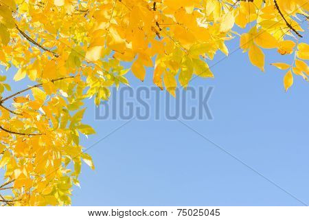 Indian Summer Gold Yellow Autumn Leaves Over Clear Blue Sky