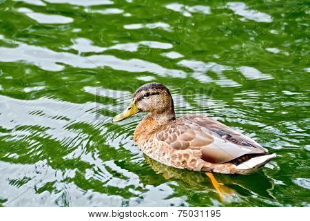 Duck wild on the green water