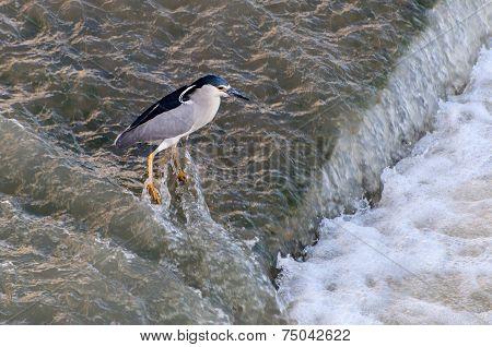 Black-crowned Night Heron Catching Fish