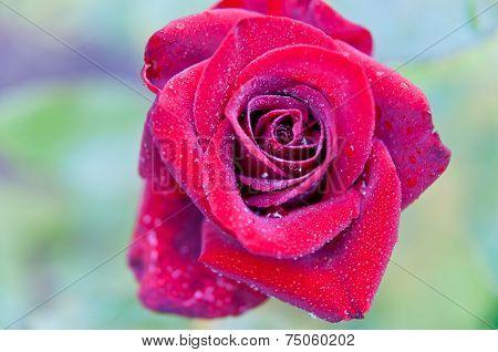 Rose In Drops Of Dew