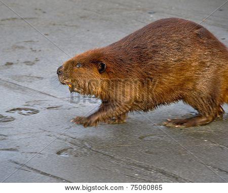 Beaver On Beach