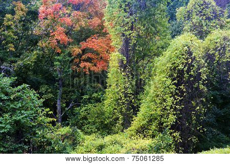 autumn foliage and climbing vines
